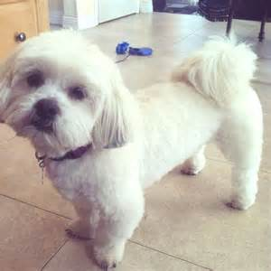 lhasa apso with a haircut lhasa apso pups my boys my goals and summer