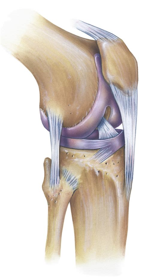 anatomy knee joint klinik  ring