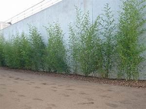 Haie Pas Cher Qui Pousse Vite : planter du bambou en haie pivoine etc ~ Mglfilm.com Idées de Décoration
