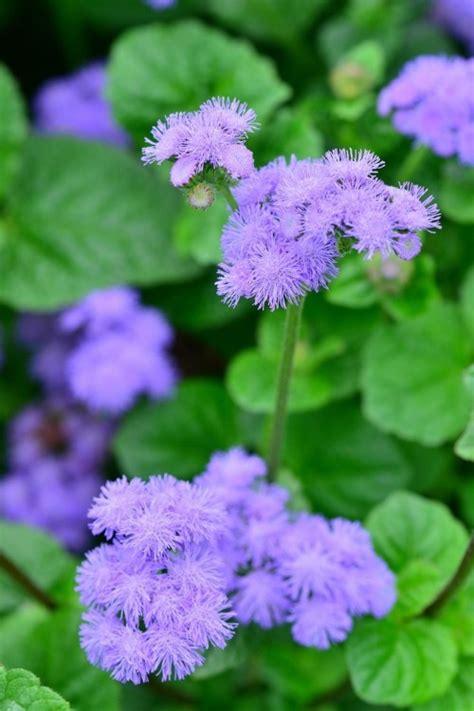 lavendel gegen wespen lavendel pflanzen so gehts nat rlicher insektenschutz diese hausmittel