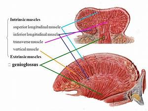 Pin De Sjc Em Slp Anatomy