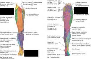 Limb Lower Sensory Dermatomes