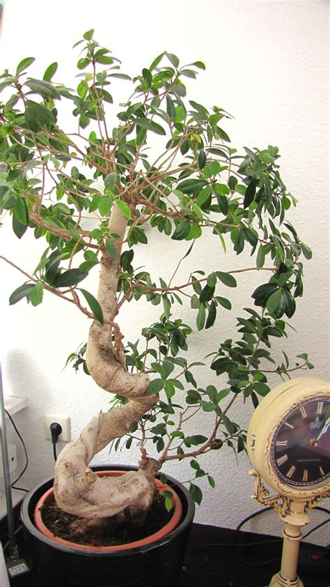 Ikea Bonsai Baum by Bonsai Imposing Ginseng Bonsai Pflege Auf Ficus Retusa