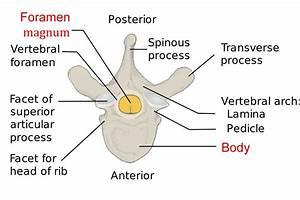 Vertebrae Different Types  Cervical  Thoracic  Lumbar