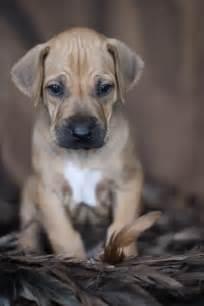Adorable Rhodesian Ridgeback Puppies