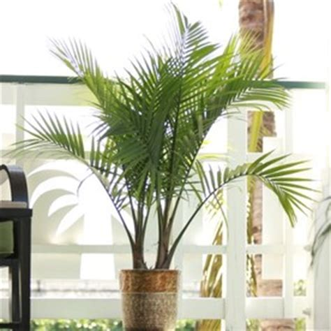 indoor citrus tree shop plants bulbs seeds at lowes com