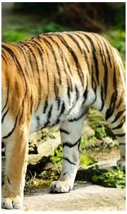 Tigers HD Wallpapers for Windows 7 4K | Tiger wallpaper ...