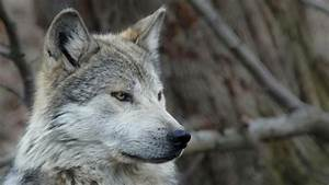 Mexican wolf Wallpapers Wallpaper Studio 10 Tens of