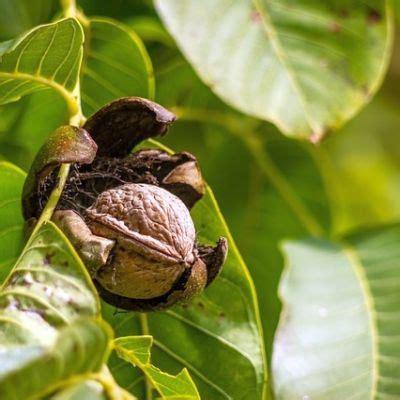 walnussbaum wachstum pro jahr walnussernte die 10 besten tipps zum waln 252 sse sammeln