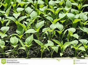 Bell Pepper Seedlings Before Planting In Soil Stock Photo ...