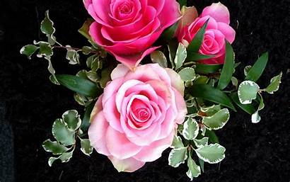 Rose Pink Roses Wallpapers Background Flower Flowers