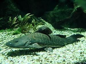 leopard catfish (Perrunichthys perruno) - Species Profile