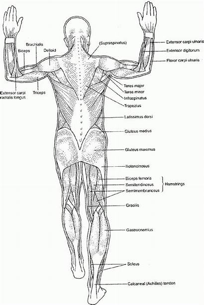 Coloring Human Anatomy Pages Muscle Systems Diagram
