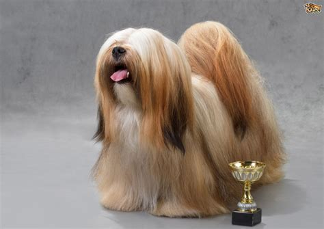 my lhasa apso is shedding hair 5 breeds that boast being easy to groom pets4homes