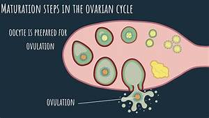 Oogenesis - The Ovarian Cycle  Part 1
