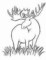 Moose Coloring Animals Printable Elk Simple Animal Deer Girly Clipart Drawing Wild Drawings Colouring Template Sketch Sheets Dragon Horn Library sketch template