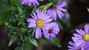 Wallpaper Purple Flower, Water Drops, Leaves, Buds ...