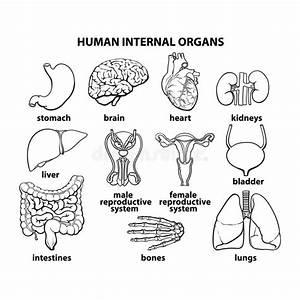 Die Inneren Organe Des Mannes  Satz Vektor Abbildung