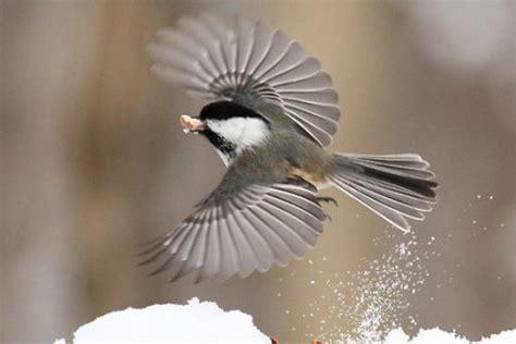 black capped chickadee facts anatomy diet habitat