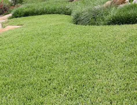 what type of grass is sod best kinds of grass for your yard luxurious list of top ten