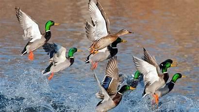 Hunting Duck Backgrounds Desktop Wallpapers Wallpapersafari Wallpapertag