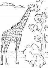 Coloring Giraffe Pages Printable Colouring Preschool Trending Days Last Funnycrafts Number Everfreecoloring sketch template