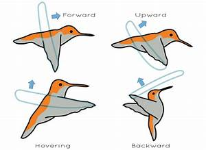 What Bird Can Fly Backwards