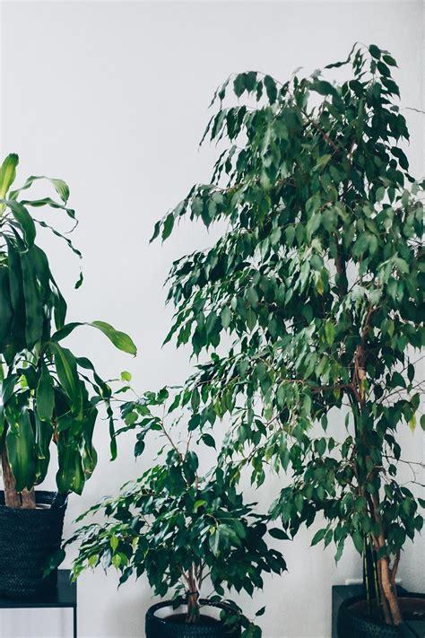 Große Zimmerpflanzen Günstig by Der Pflanzen Guide 15 Stylische Und Pflegeleichte