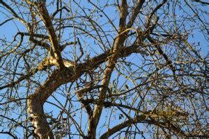 alte kirschbäume schneiden alte obstb 228 ume schneiden phlora de