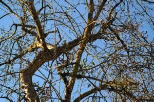 Alten Walnussbaum Schneiden : alte obstb ume schneiden ~ Lizthompson.info Haus und Dekorationen