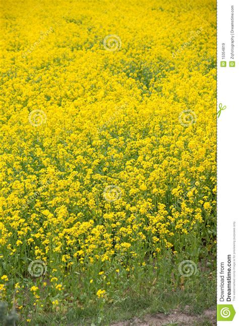 yellow oil flower royalty  stock images image