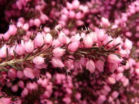 heather erika flower  photo  pixabay