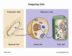 Prokaryotic Cells Vs  Eukaryotic Cells Poster