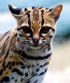 tiger cat tiger cat