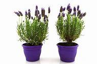 Lavender Plant in Flower Pot