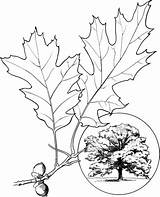 Oak Tree Coloring Pages Leaves Northern Drawing Leaf Champion Printable Trees Elm Template Supercoloring Coast Clipart Sketch Oaks Getdrawings Templates sketch template