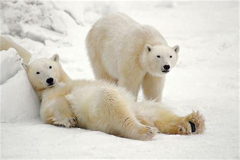 imagenes de la naturaleza osos polares ositos teddy