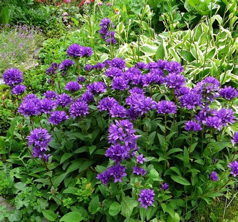 bellflower plant bellflower perennial www imgkid com the image kid has it