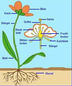 Aufbau Einer Blume : blume oder bl te c l e v e r g e s u n d ~ Whattoseeinmadrid.com Haus und Dekorationen