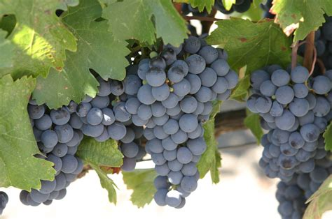 what are grape vines file malbec grapes jpg wikimedia commons