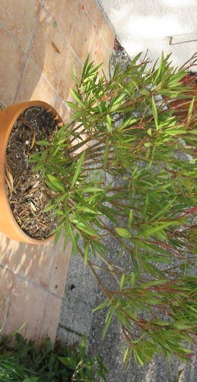 entretien laurier en pot 28 images cultiver un laurier en pot jardinage et entretient