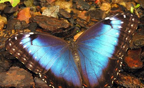 Unique Animal Wallpaper - blue butterfly pictures unique animal wallpapers