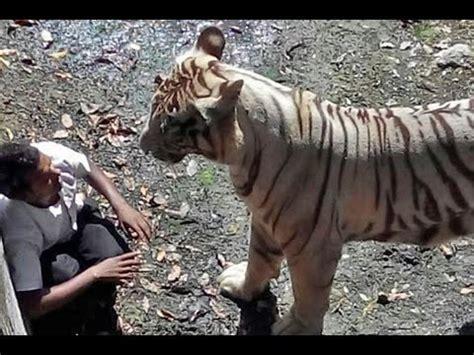 delhi zoo tiger kills visitor  analysis youtube