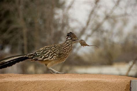 roadrunner eating mouse fat finch backyard birds