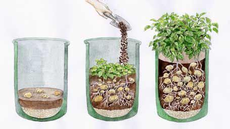 how to plant potatos in a pot kartoffeln richtig im k 252 bel pflanzen garten terrasse
