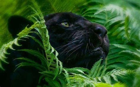 zwarte panter schilderij black panther