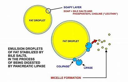 Bile Fatty Digestion Juice Does Why Acid