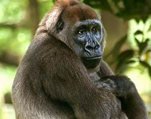 Cross River Gorilla | Wildlife Info and Photos | The Wildlife