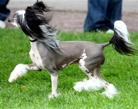 Springer Spaniel Shedding Level by Chinese Crested Dog Breed Profiles
