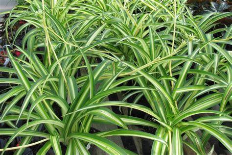 pflanzen die giftstoffe aus der luft filtern gesunde luft diese zimmerpflanzen entgiften und befeuchten die raumluft